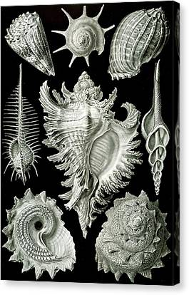 Bold Colors Canvas Print - Assorted Sea Shells by Ernst Haeckel