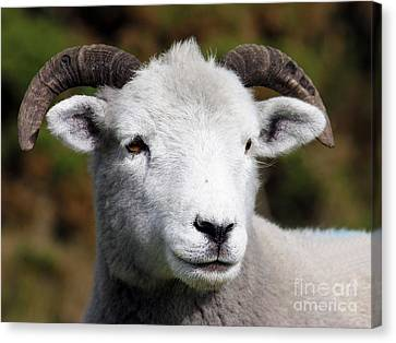 Exmoor Horn Sheep Canvas Print by Terri Waters