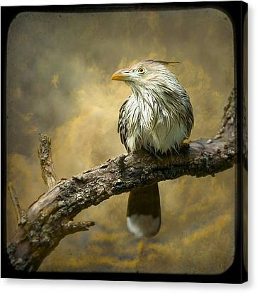 Exotic Bird - Guira Cuckoo Bird Canvas Print by Gary Heller