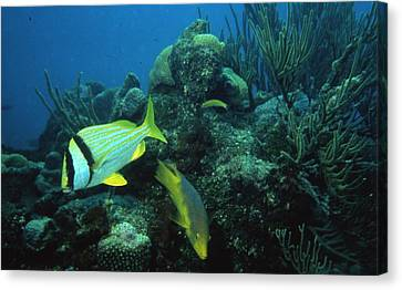 Exotic Fish Canvas Print by Retro Images Archive