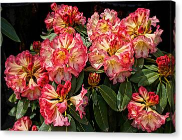 Exploding Rhodies Canvas Print