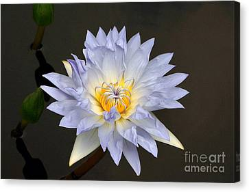 Exquisite Lavender Waterlily Canvas Print