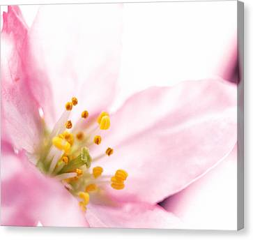 Extreme Close Up Of Cherry Blossom Canvas Print by Panoramic Images