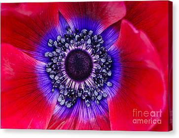 Extreme Macro Of A Red Anemone Poppy Canvas Print by Oscar Gutierrez