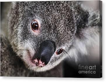 Eye Am Watching You - Koala Canvas Print by Kaye Menner