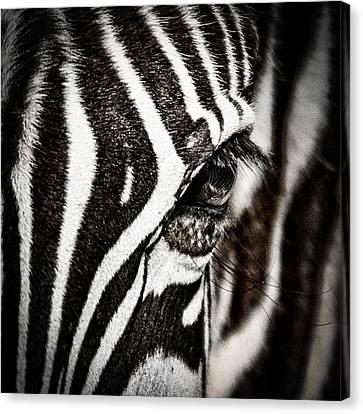 Eye Contact Canvas Print by Mike Gaudaur