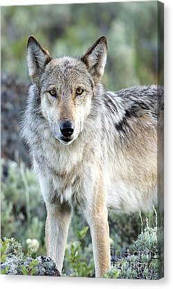 Eye Contact With A Gray Wolf Canvas Print