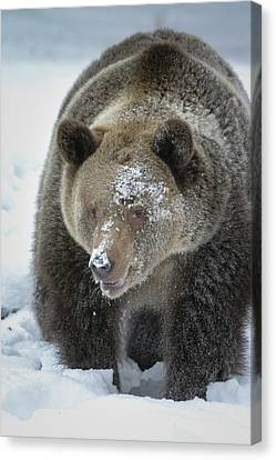 Eye Of Grizzly Canvas Print by Diane Bohna