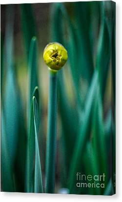 Canvas Print featuring the photograph Eye Of The Daffodil by Cynthia Lagoudakis