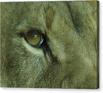 Eye Of The Lion Canvas Print by Ernie Echols
