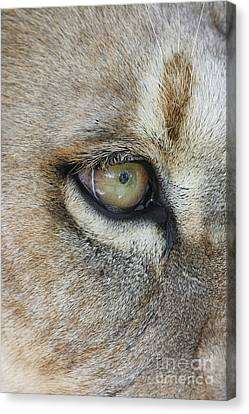 Canvas Print featuring the photograph Eye Of The Lion by Judy Whitton