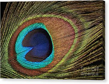 Eye Of The Peacock Canvas Print by Judy Whitton