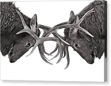 Eye To Eye - Elk Fight Canvas Print