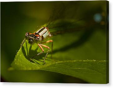 Eye To Eye With The Damsel Fly Canvas Print by Jean Noren
