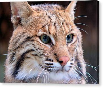 Eyes Of A Lynx Canvas Print by Rosalie Scanlon