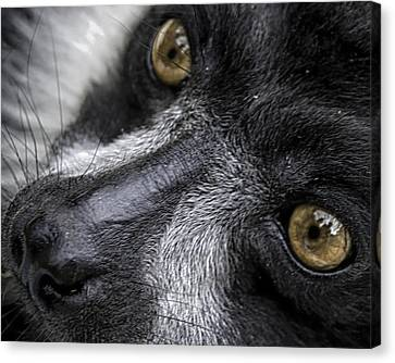 Canvas Print featuring the photograph Eyes Of The Lemur by Chris Boulton
