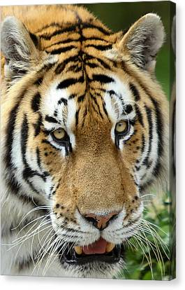 Canvas Print featuring the photograph Eyes Of The Tiger by John Haldane