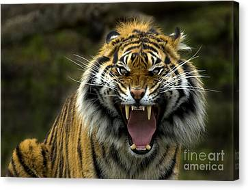 Eyes Of The Tiger Canvas Print by Mike  Dawson