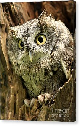 Eyes Of Wisdom Eastern Screech Owl In Hollow Tree Canvas Print by Inspired Nature Photography Fine Art Photography