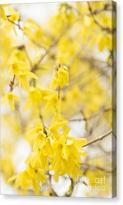 Close Focus Floral Canvas Print - Fabulous Forsythia by Anne Gilbert