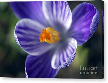 Face Of A Crocus Canvas Print by Sharon Talson