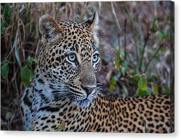 Face Of A Leapord Canvas Print by Craig Brown