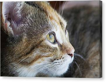 Face Of Domestic Shorthaired Canvas Print