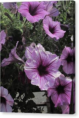 Faces Of Petunias Canvas Print by Guy Ricketts