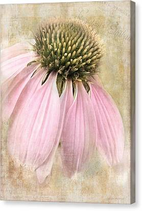 Faded Coneflower Canvas Print by Melissa Bittinger
