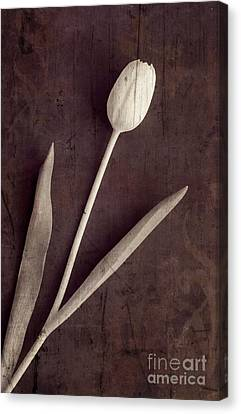 Faded Memories Single White Tulip Canvas Print by Edward Fielding