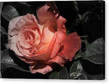Canon 7d Canvas Print - Fading Rose by Donna Kennedy