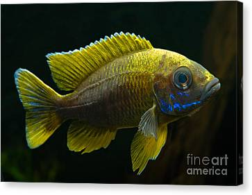 Fairy Cichlid Canvas Print