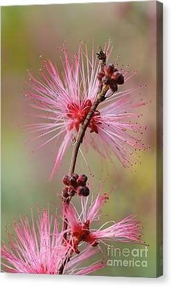 Fairy Duster Canvas Print