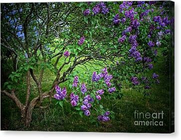 Fairytales And Lilacs Canvas Print by Ken Marsh