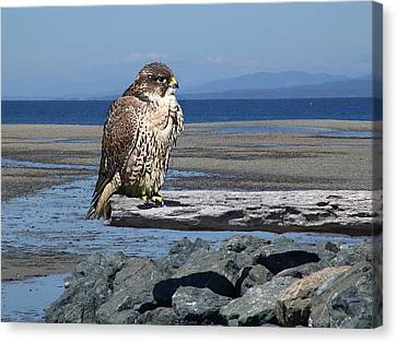 Falcon On A Log Canvas Print by George Cousins
