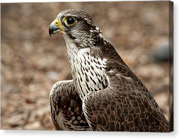 Falcon Portrait Canvas Print by Sheila Haddad