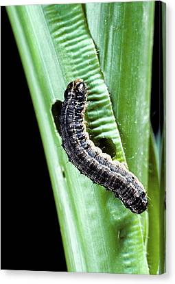 Fall Armyworm Caterpillar Canvas Print by Barry Fitzgerald/us Department Of Agriculture