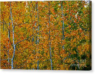 Canvas Print featuring the photograph Fall Aspen by Sam Rosen