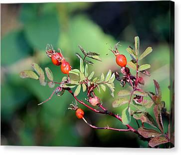 Fall Berries #4 Canvas Print by Gina Gahagan