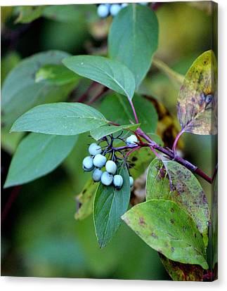 Fall Berries #5 Dogwood Canvas Print by Gina Gahagan