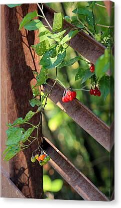 fall berries #6 Nightshade Canvas Print by Gina Gahagan