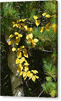 Canvas Print featuring the photograph Fall Birch by Judy  Johnson