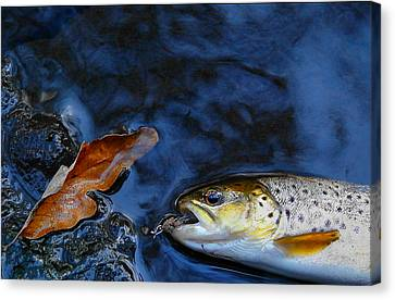 Fall Brown Trout Canvas Print