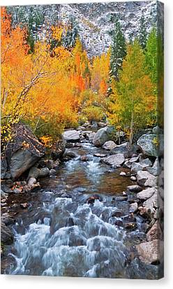 Populus Tremuloides Canvas Print - Fall Color Along Bishop Creek, Inyo by Russ Bishop