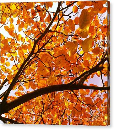 Autumn Brilliance Looking Skyward Canvas Print