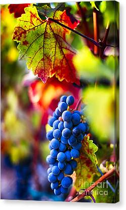 Bunch Of Grapes Canvas Print - Fall Colors Of Napa Valley by George Oze