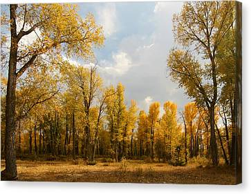 Fall Cottonwoods In Gros Ventre Canvas Print