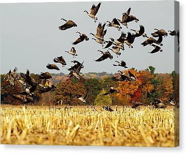 Flock Of Geese Canvas Print - Fall Feast by Thomas Young