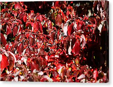 Fall Foliage Colors 08 Canvas Print by Metro DC Photography