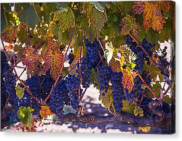 Vine Grapes Canvas Print - Fall Grape Harvest by Garry Gay